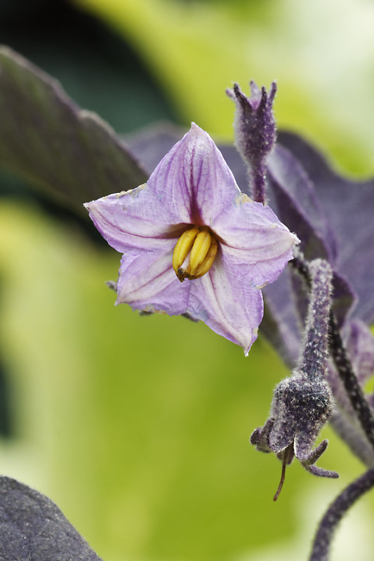 Aubergine_Pulsa_Purple_Cluster_photo_Chriscal___MG_1213_DxO.jpg