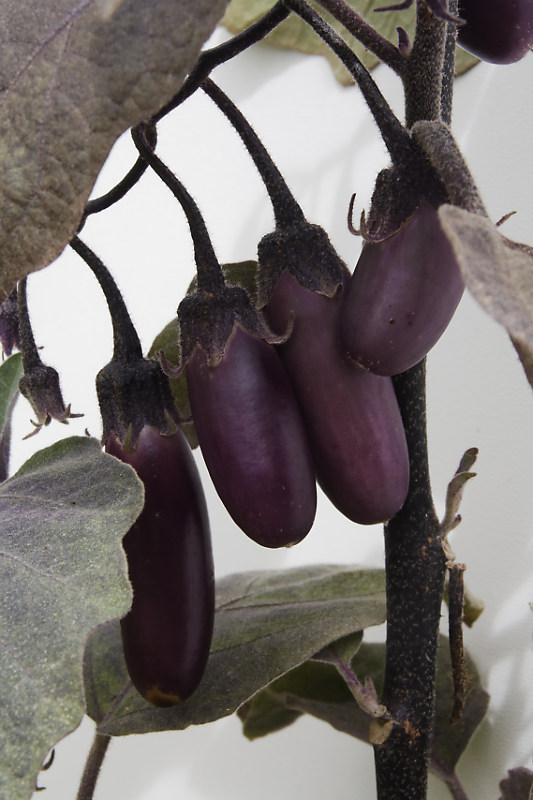 Aubergine_Pulsa_Purple_Cluster_photo_Chriscal__MG_1219_DxO.jpg