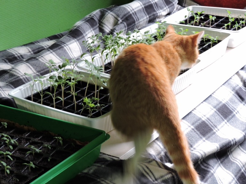 Tirouloulou_tomates_chat_DSCN0383 (800x600).jpg