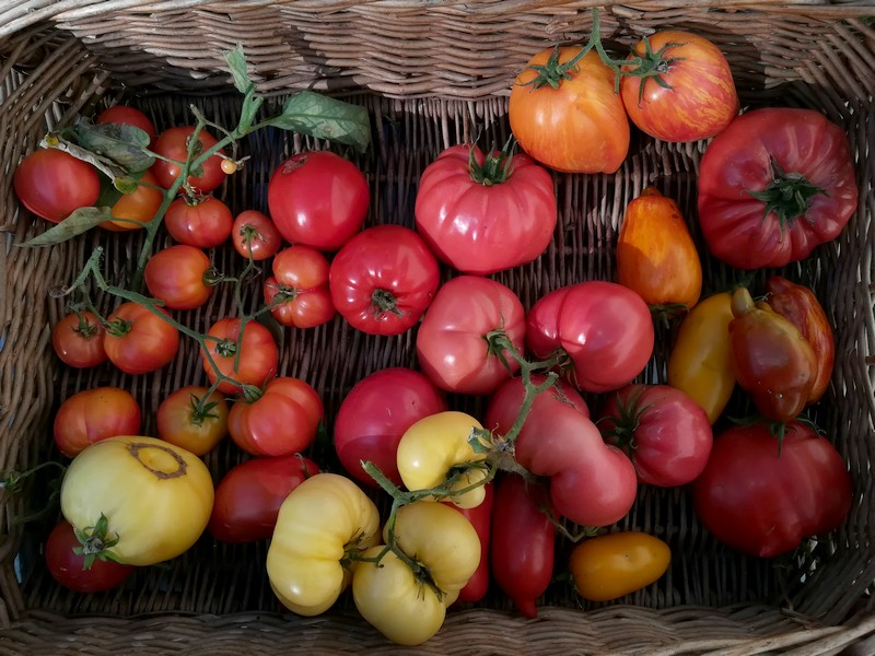 tomates fin octore.jpg