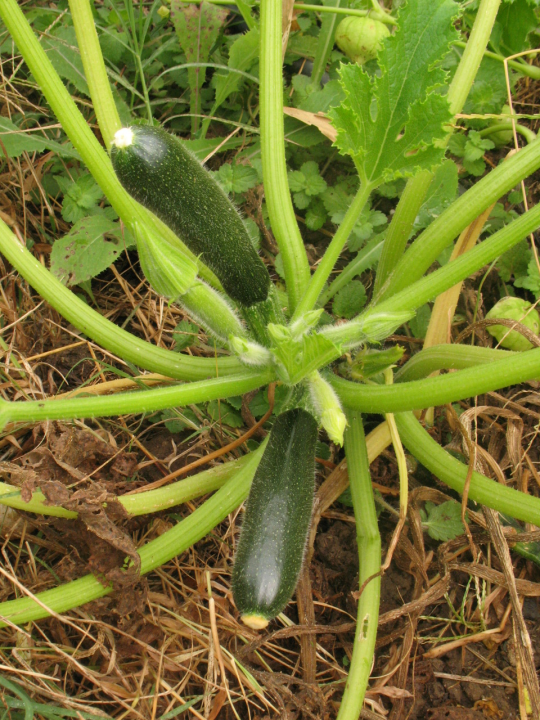 cucourgette.png