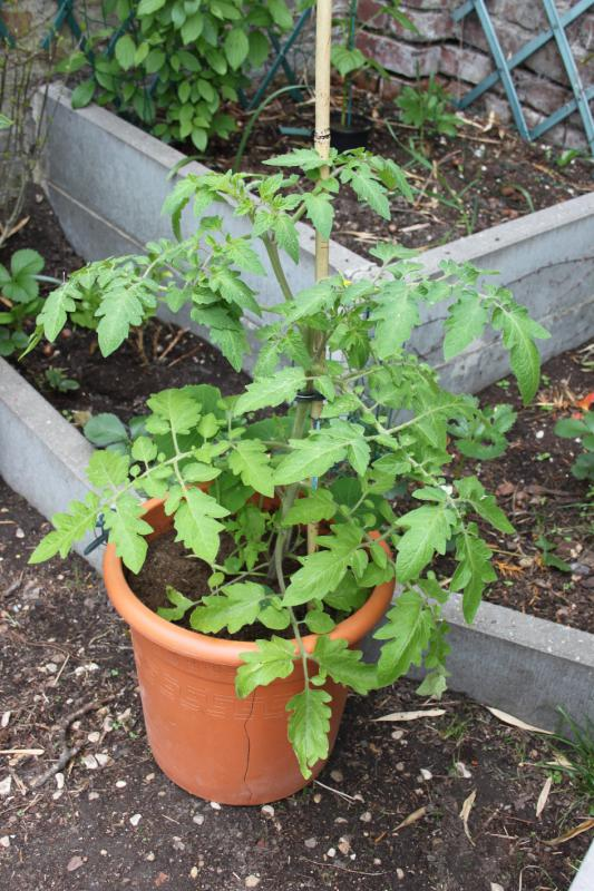 004 tomate gold nuggets 04 05 15.JPG