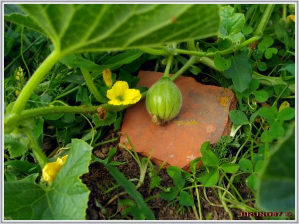 Photos de cucurbitac es page 2 semences - Comment pousse les kiwi ...