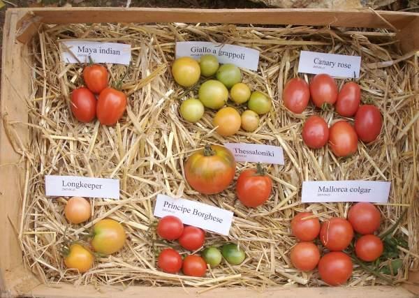 Tomate Thessaloniki Tomate Thessaloniki 15 graines