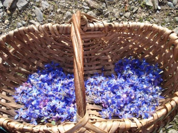fleurs de bourrache cristallisées - semences-partage