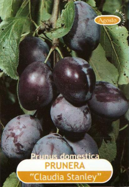 Prune stanley semences for Prune en conserve