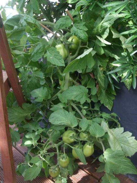 depart en vacances que faire des tomates vertes semences. Black Bedroom Furniture Sets. Home Design Ideas