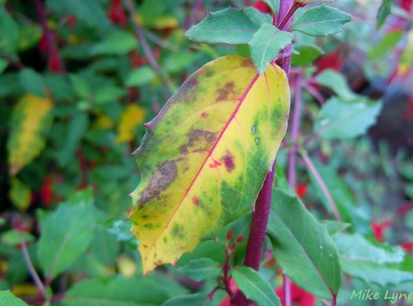 Fushia feuilles jaunies et tach es semences for Eleagnus maladie feuilles jaunes