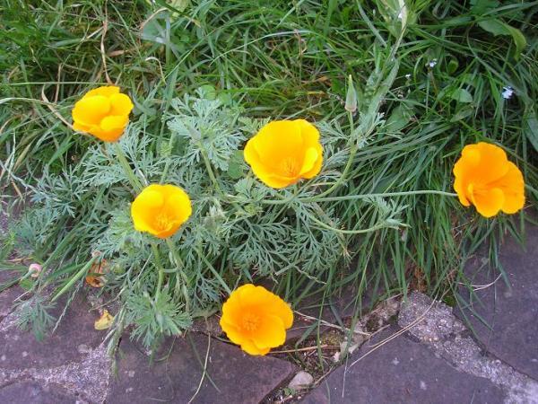 Le ptit coin de verdure de niko semences - Fleur de jachere ...