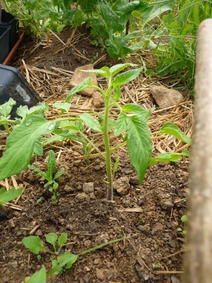 2013 tomates 2013 chez tdc page 3 semences - Quand repiquer les tomates en pleine terre ...