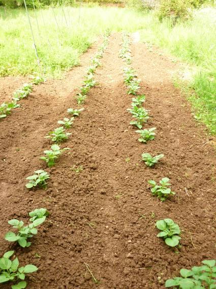 Potager des ages 2013 semences - Pomme de terre sous paille ...