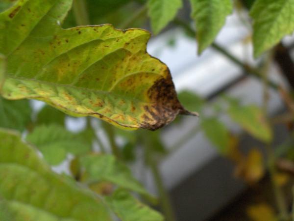 Help tomates cerises malades semences - Feuilles de rosier qui jaunissent ...