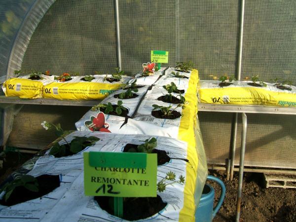 Célèbre cukture de la fraise hors sol - Semences-Partage.net UU46