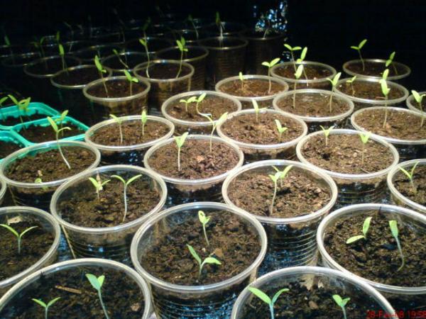 2008 suivi de culture de deja semences - Plant de tomate cerise ...