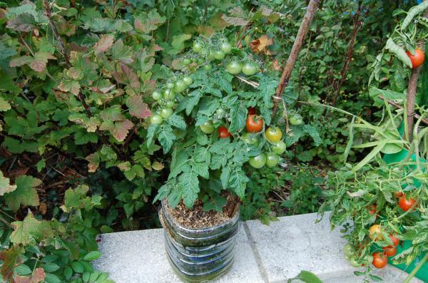 Quelle vari t de tomate pour la culture en pots page 2 semences - Tomate cerise en pot ...