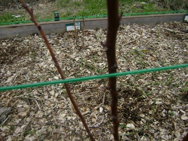 Pince a tuteurer max tapener semences - Comment tailler les framboisiers ...