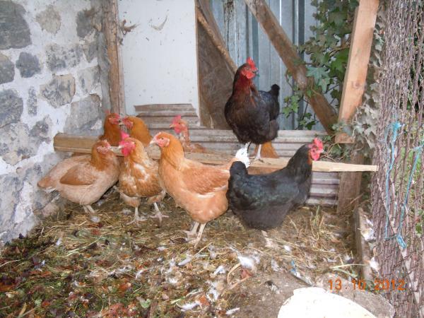 L 39 arche de madeleine 78 semences for Ce que mange les poules