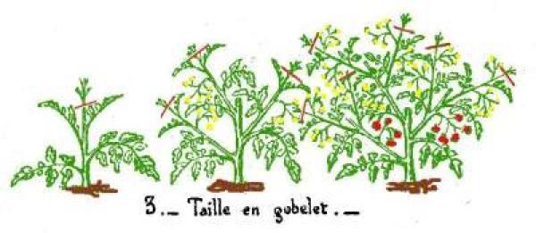 Tailler les plants de tomates - Tailler plant de tomate ...
