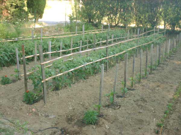 Exceptionnel Système de tuteurage pour tomates à croissance déterminée  BA22