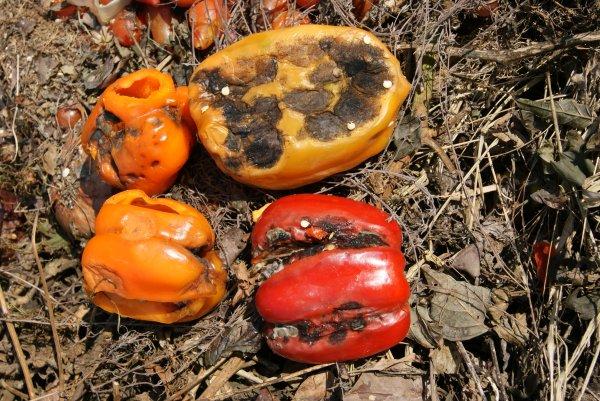 Les parasites sur korellakh