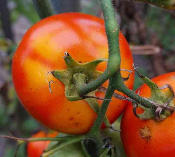 Maladie des tomates semences - Maladie pied de tomate ...