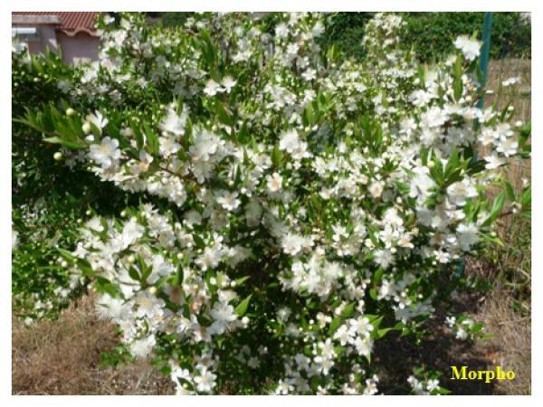 Culture de myrte semences for Myrte arbuste