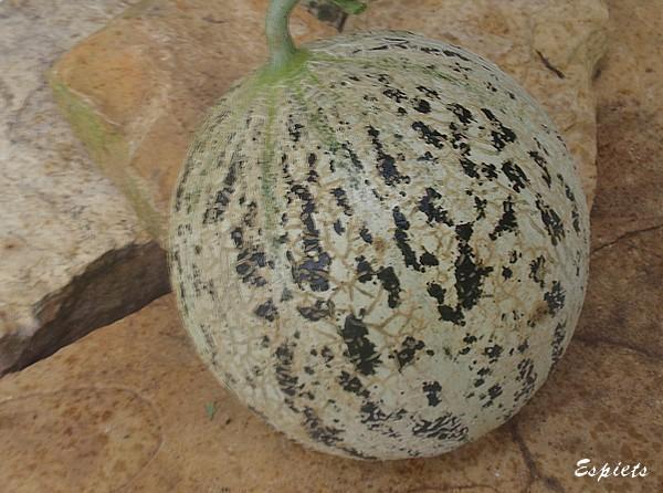 Melon de lun ville semences - Quand cueillir un melon ...