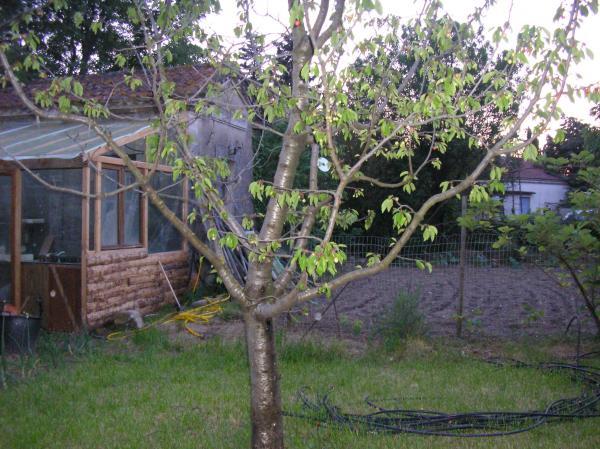 Cerisier malade semences - Maladie du cerisier ...
