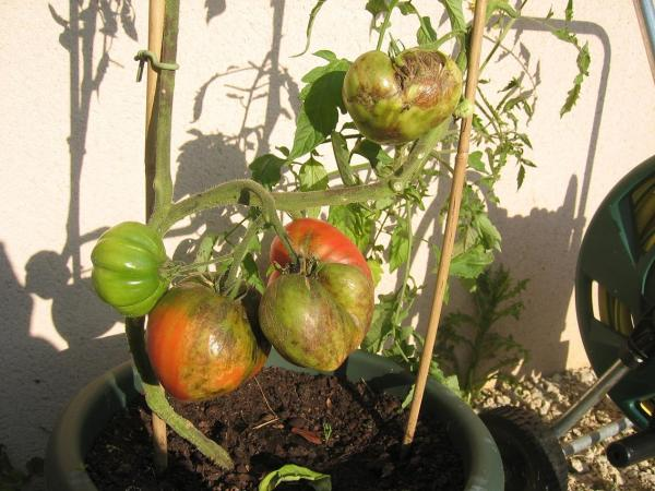 2007 mes petits pieds de tomates semences - Planter des tomates coeur de boeuf ...