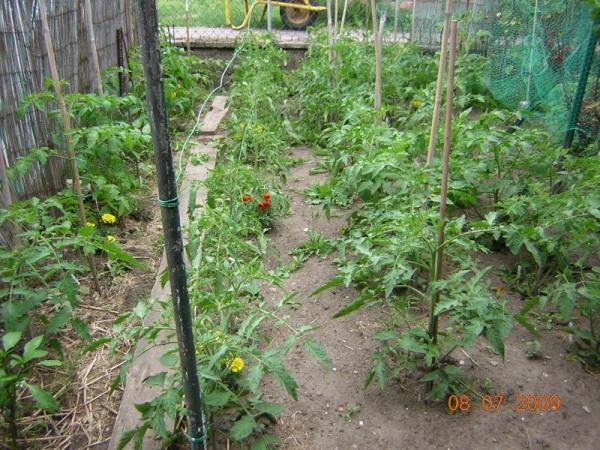 2009 les tomates de droop r tro 2009 semences. Black Bedroom Furniture Sets. Home Design Ideas
