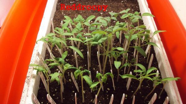 2010 les tomates de droop 2010 page 8 semences. Black Bedroom Furniture Sets. Home Design Ideas