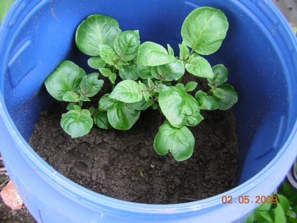 Pommes de terre en tonneau retour sur exp rience 2009 - Quand semer les pommes de terre ...