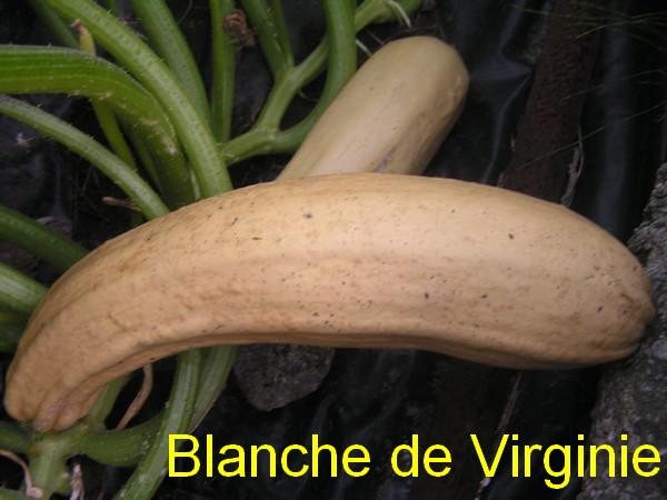Droopotiron courges courgettes et pis les autres page 5 semences - Feuille de courgette blanche ...