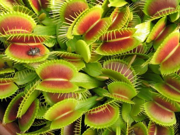 plantes carnivores en provence semences. Black Bedroom Furniture Sets. Home Design Ideas