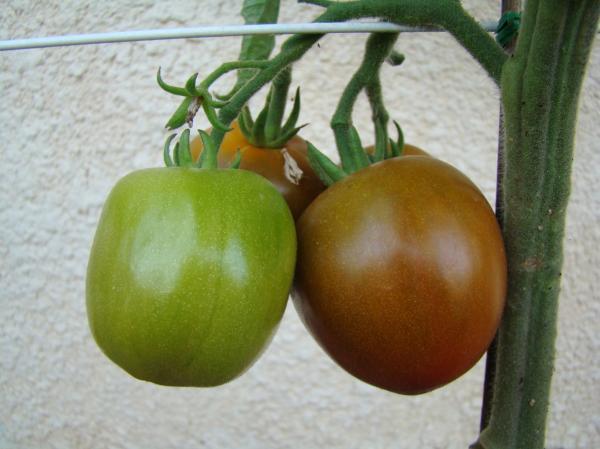 tomate black russian op semences. Black Bedroom Furniture Sets. Home Design Ideas