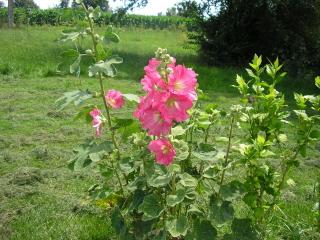 Quelques fleurs de jardin les fleurs arbres et arbustes for Jardin ornement fleurs