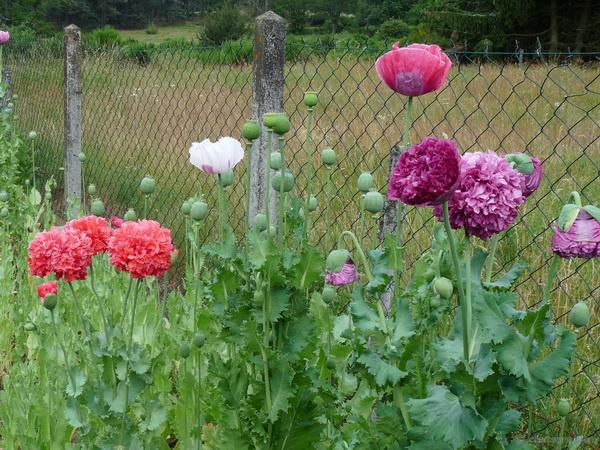planter et semer les pavots somnifère chevelu