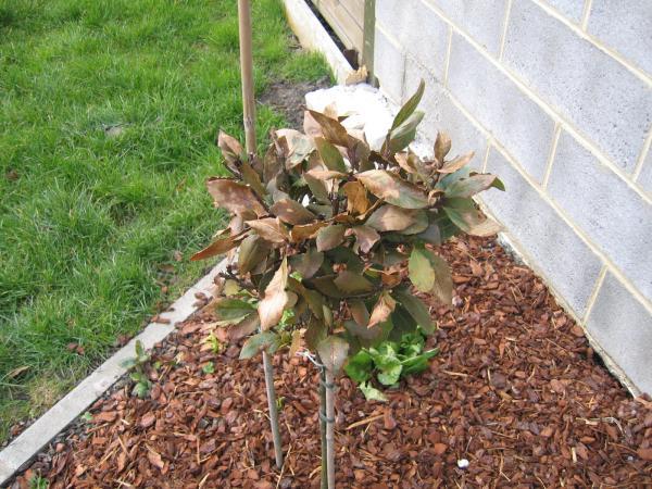 Regardez mes lauriers votre avis ils sont malades semences - Laurier rose feuilles seches ...